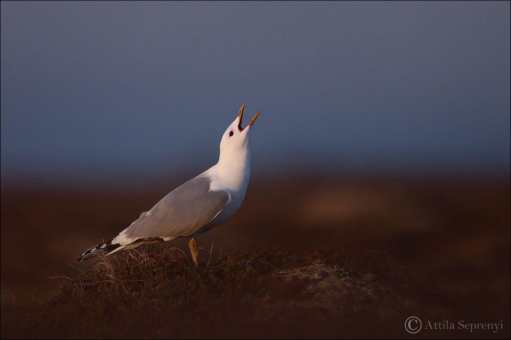 Photograph Common Gull by Attila Seprenyi on 500px