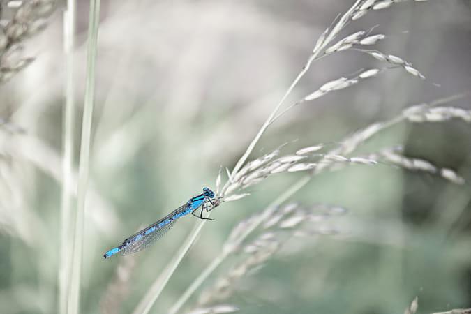 Dragonfly on dry grass straw.