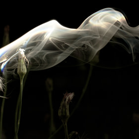 Smokin' Dandelion by Jesse Boyes (JamesPhotos)) on 500px.com