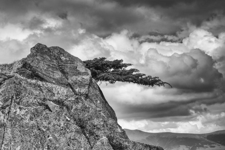 Wind swept yew tree