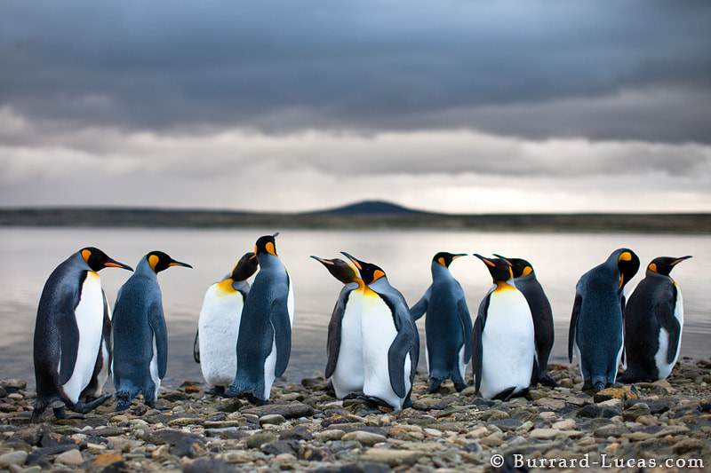 King penguins standing beside a sheltered lagoon in the Falkland Islands. The moody evening sky created an incredible atmosphere and the 50mm f/1.2 lens made a beautiful soft focus effect.