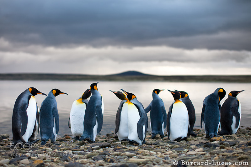 """King penguins standing beside a sheltered lagoon in the Falkland Islands. The moody evening sky created an incredible atmosphere and the 50mm f/1.2 lens made a beautiful soft focus effect.  - More <a href=""""http://www.burrard-lucas.com/falklands/"""">Falkland Island photos</a>"""