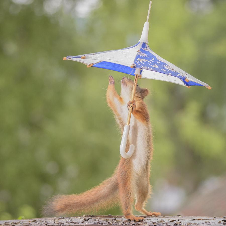 young red squirrel holding a umbrella, автор — Geert Weggen на 500px.com
