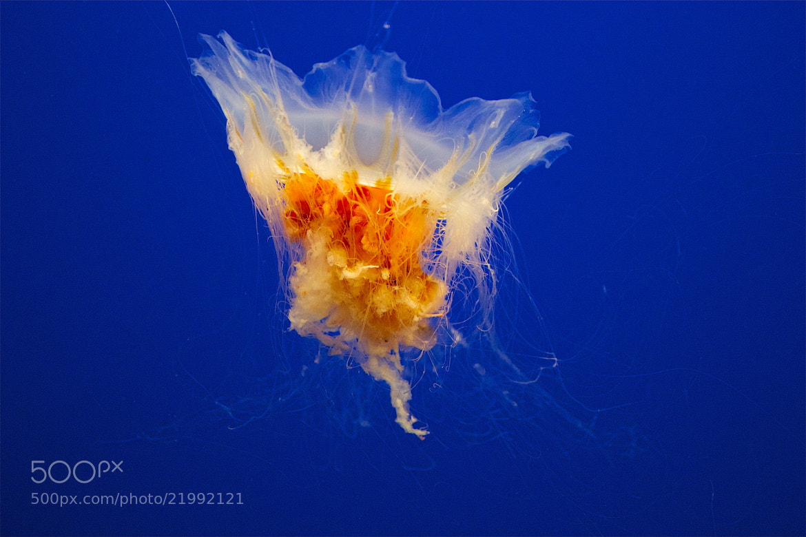 Photograph Egg Yolk Jellyfish by Cynthia Heatley-Aylesworth on 500px