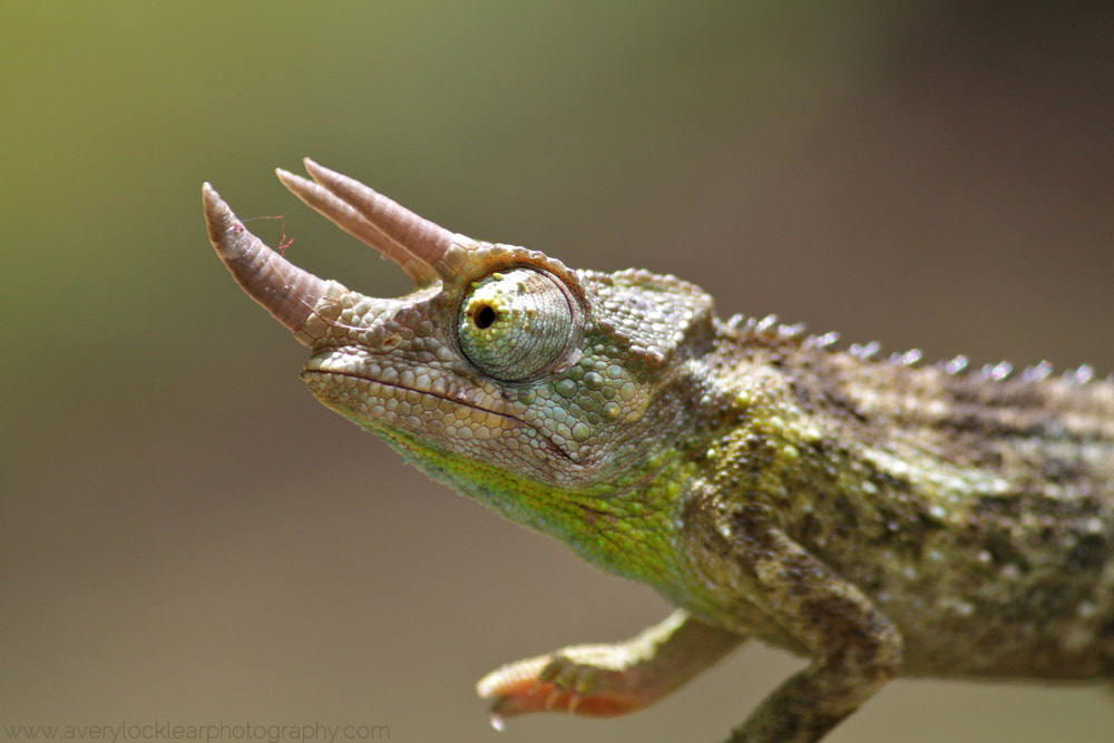 Photograph Jackson's Chameleon by Avery Locklear on 500px