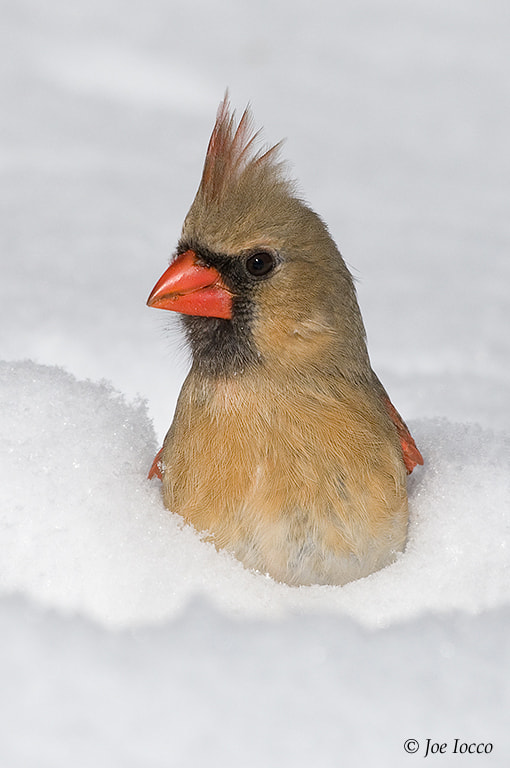 Photograph Norther Cardinal-female by Joe Iocco on 500px