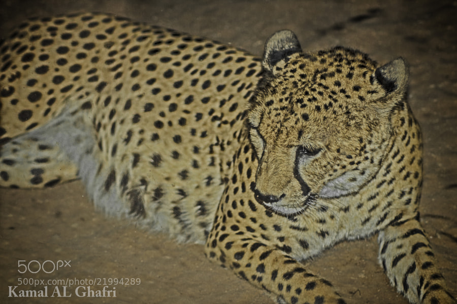 Photograph Sad Cheetah by Kamal AL Ghafri on 500px