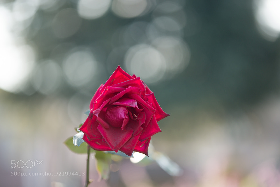 Photograph Winter rose by marbee .info on 500px