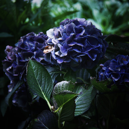 Hydrangea Flowers at The Blowing Rock