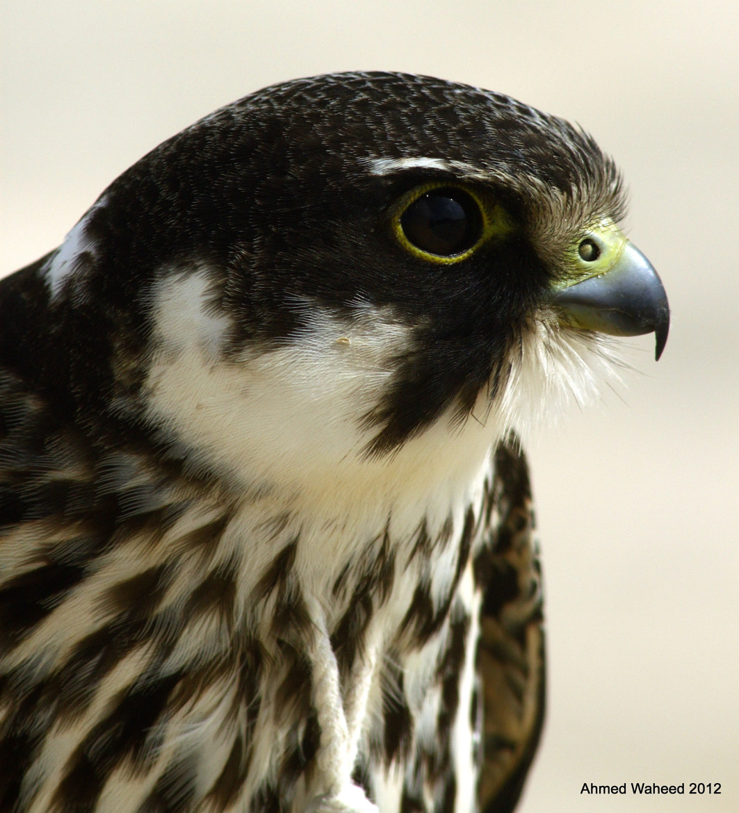 Photograph Hobby Falcon's Portrait by Ahmed Waheed on 500px