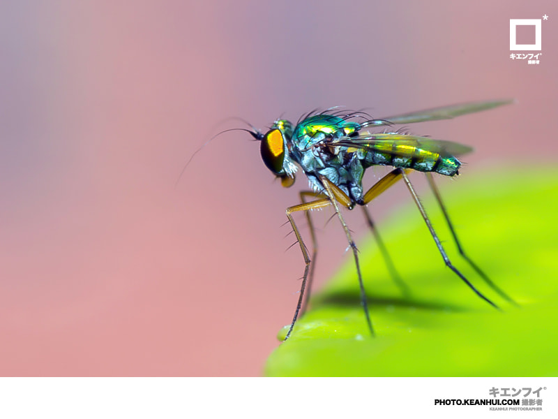 Photograph Golden Fly by Law Kean Hui on 500px