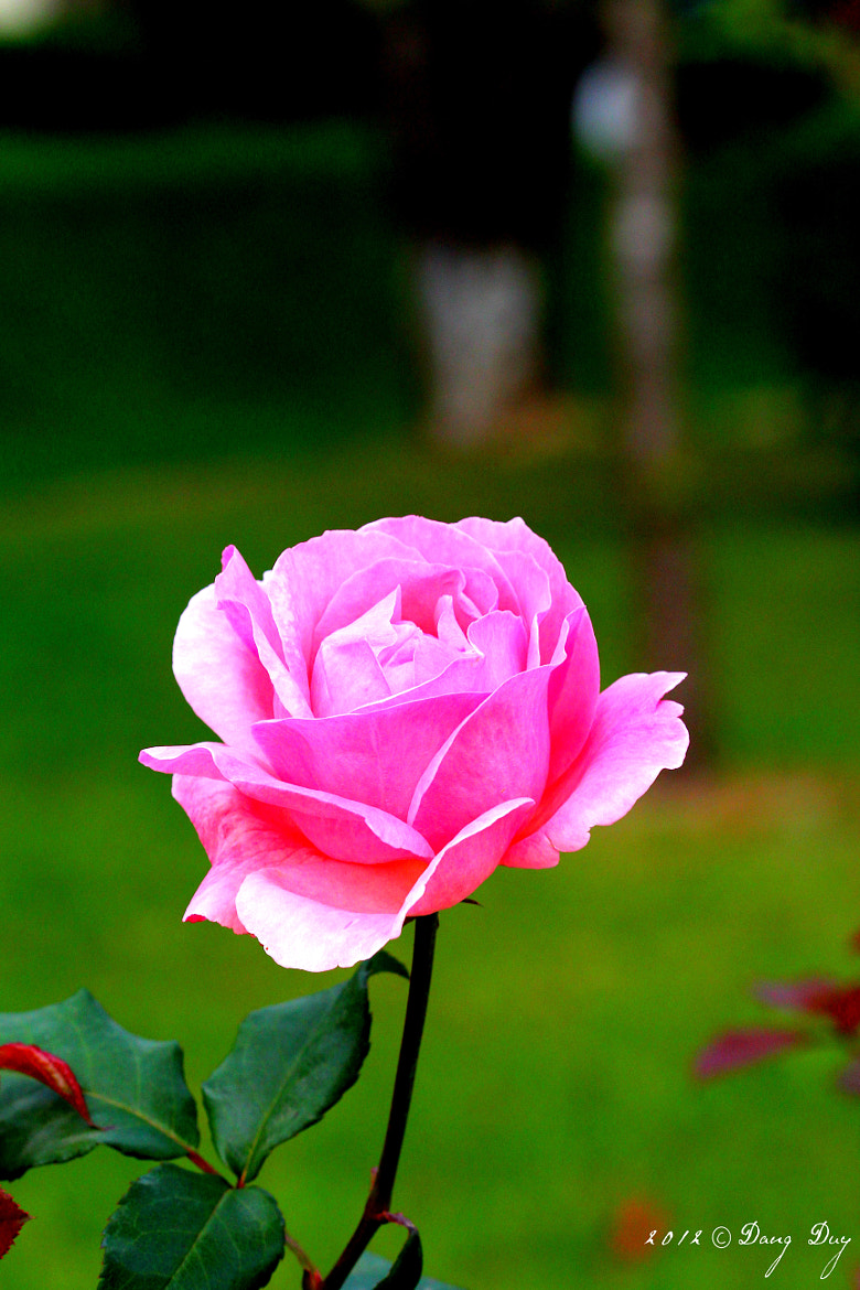 Photograph Rose pink by Duy Đăng on 500px