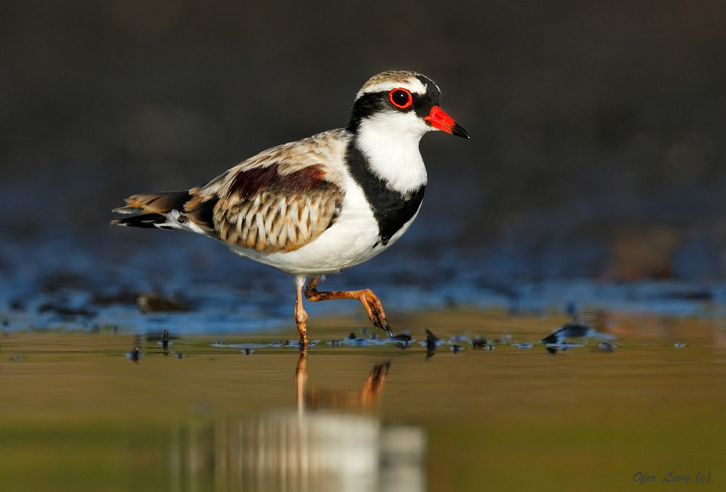 Photograph Black-fronted Dotterel by Ofer Levy on 500px