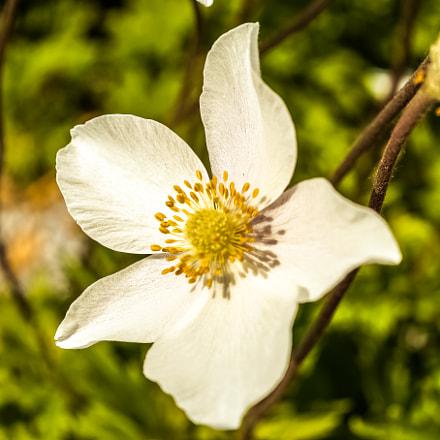 *** white anemone ***