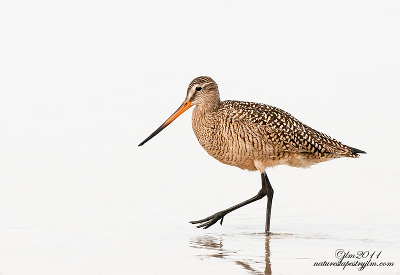 This image of the godwit in breeding colors was taken on an overcast day which is the reason for the high key.