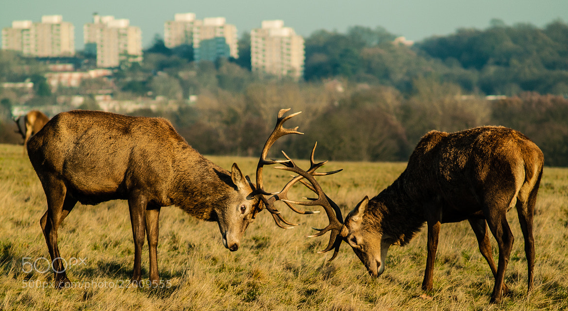 Photograph Rutting Stags by Chris Maskell on 500px