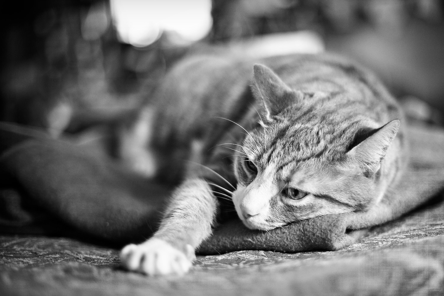 Photograph Baz the cat..... by Matt Gibbons on 500px