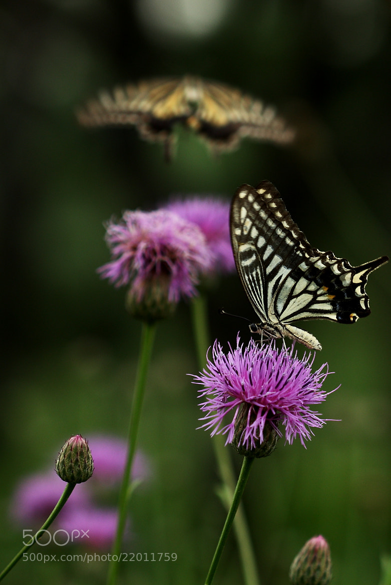 Photograph Swallowtail by mi yong sung on 500px