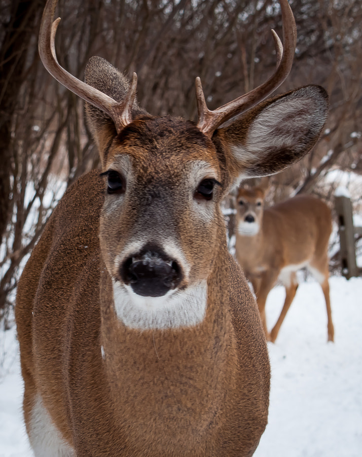 My friend Bucko, a wild young Buck who enjoys company with certain humans, and one of his young ladies.