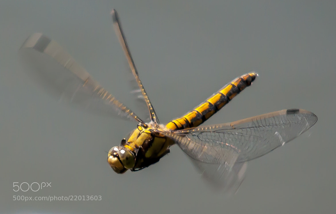 Photograph Black Tailed Skimmer by Phil Scarlett on 500px