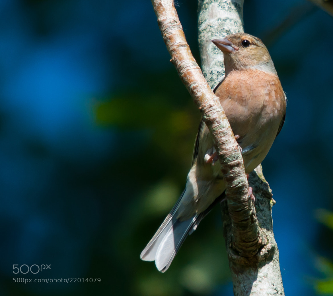 Photograph Chaffinch by Phil Scarlett on 500px