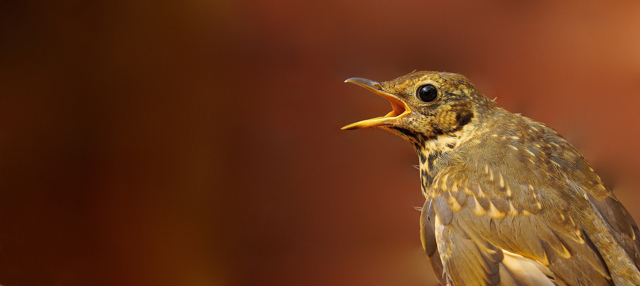 Photograph Song Thrush by Alex Berryman on 500px