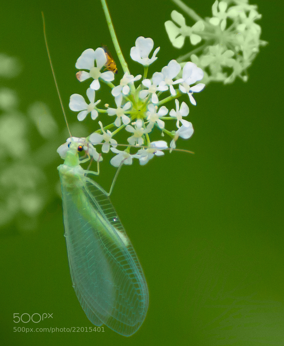 Photograph Lacewing by Phil Scarlett on 500px