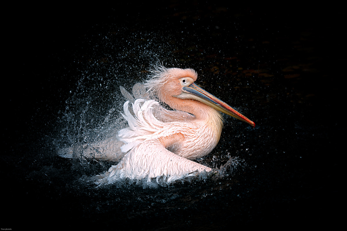 Photograph Pelican 2 by Thierry BOITELLE on 500px