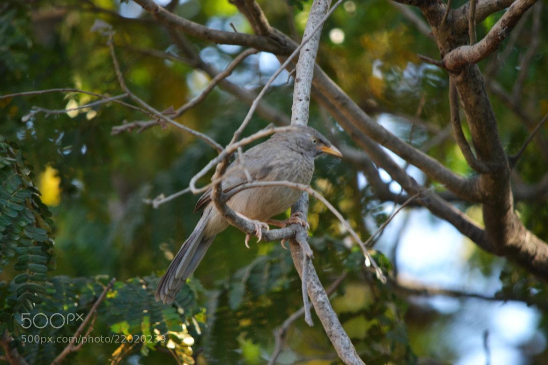Photograph Babbler  by Padmakar Kappagantula on 500px