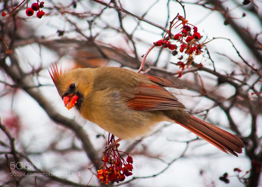 Female cardinal feasts on berries.
