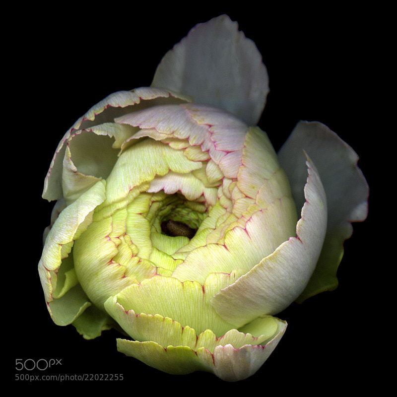 Photograph A RANUNCULUS BUD AS A METAPHOR for 2013... by Magda indigo on 500px