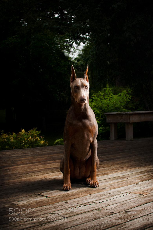 Photograph Bailey the Doberman by Pooya Gh on 500px