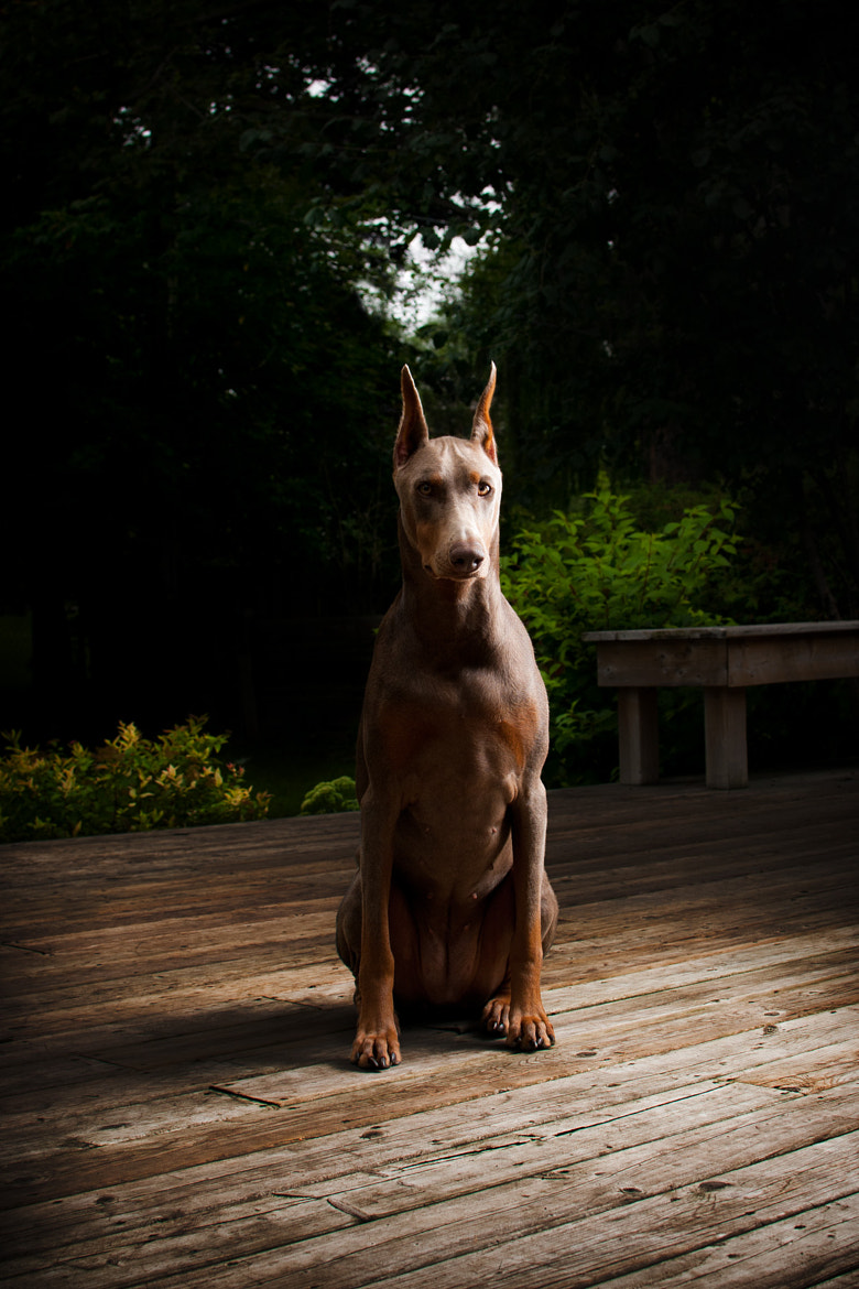 Photograph Bailey the Doberman by Pooya Gh on 500px