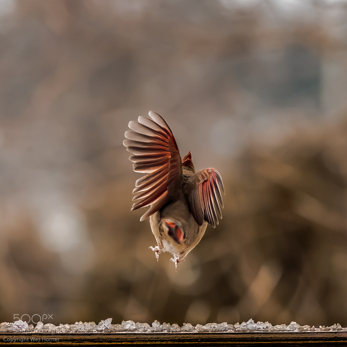 Photograph Clumsy Cardinal by Wes Horner on 500px