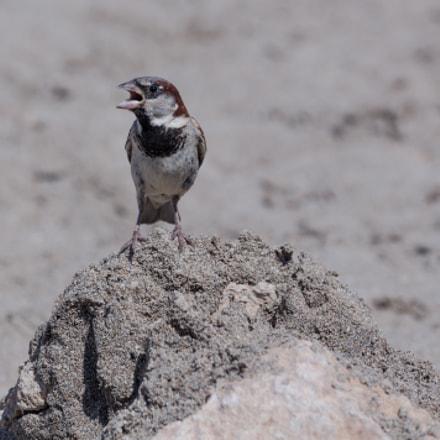 Sparrow - Cyprus