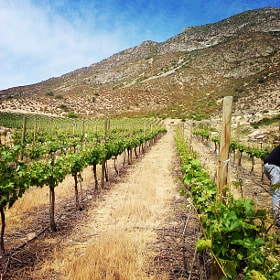 Vineyards at Los Andes, Chile