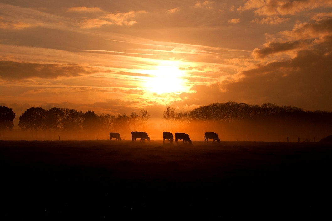 Photograph Cows in the Mist (Revised) by Geert-Jan Kettelarij on 500px