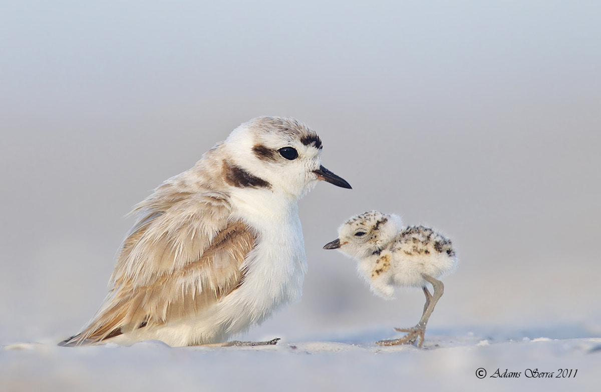 Photograph Snowy Plovers by Adams Serra on 500px