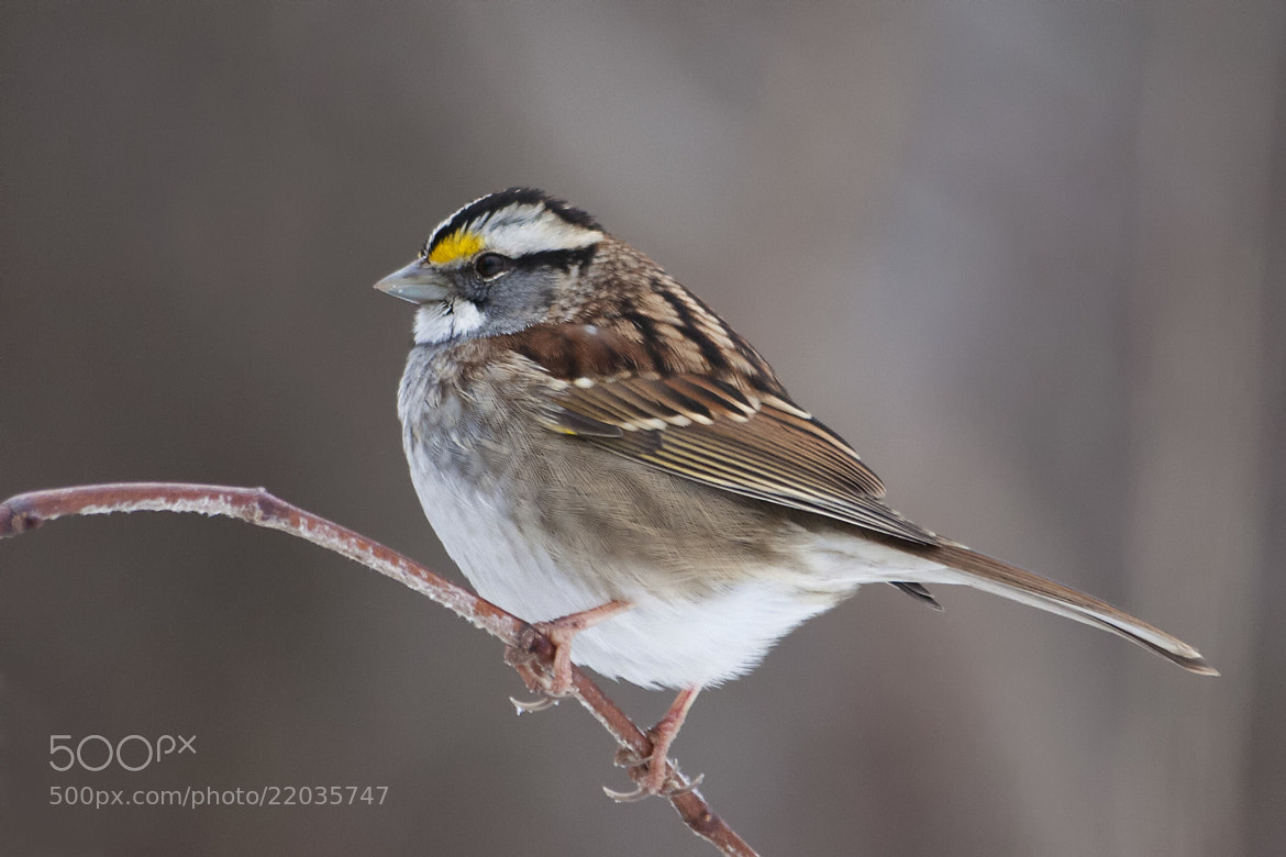 Photograph White-throated Sparrow by Bill McBride on 500px