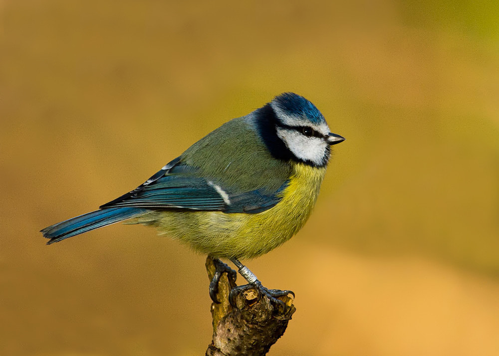 Photograph Blue Tit by Terry Cavner on 500px