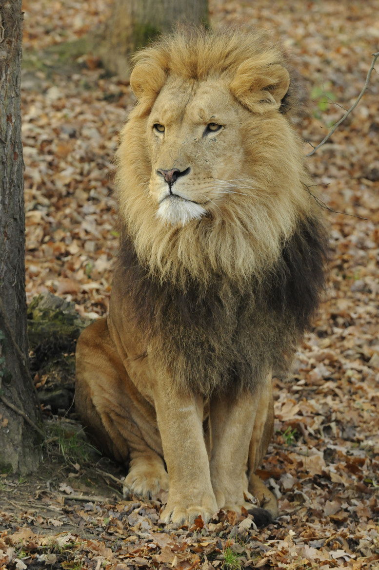 Photograph Lion  by Raoul  on 500px