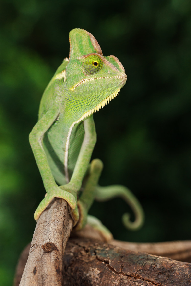 Photograph Chameleon by Bill McBride on 500px