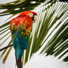 Scarlet Macaw in the rainforest in Ecuador