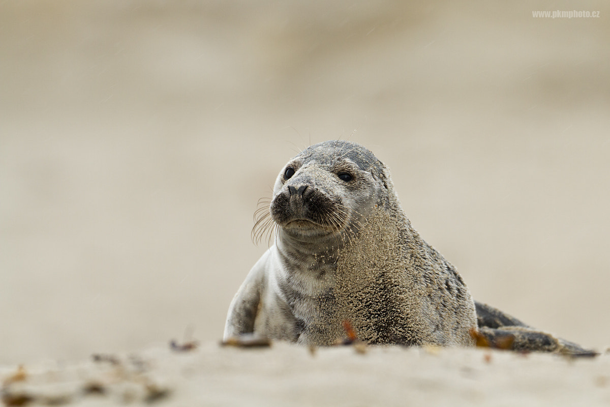 Photograph Baby seal by Peter Krejzl on 500px