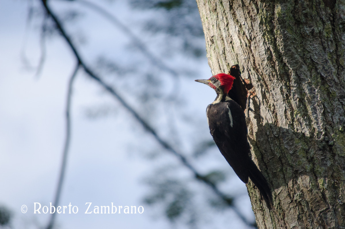 Photograph Pájaro Carpintero Llanos by Roberto Zambrano on 500px