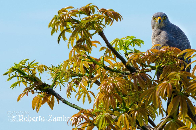 Photograph Águila, Llanos by Roberto Zambrano on 500px