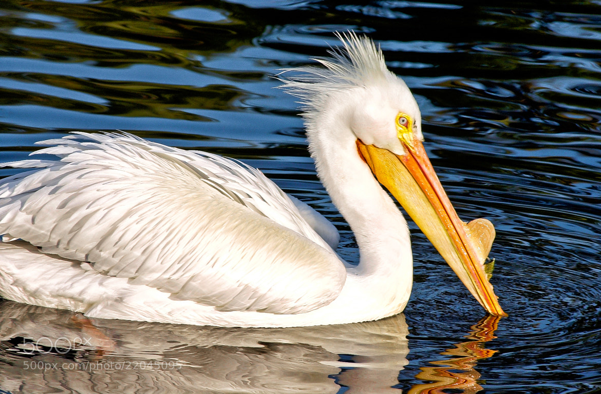 Photograph White Pelican by George Bloise on 500px