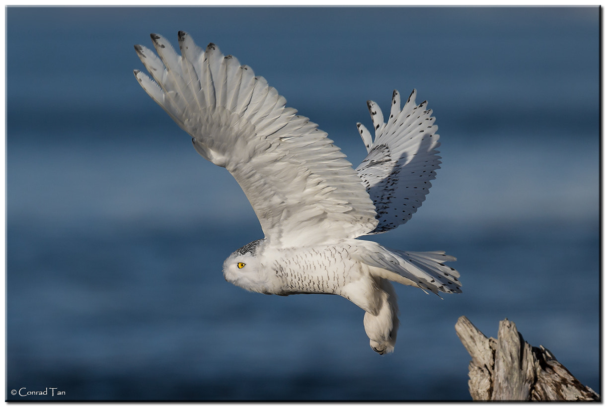 Photograph Snowy Owl flies into the Sea by Conrad Tan on 500px