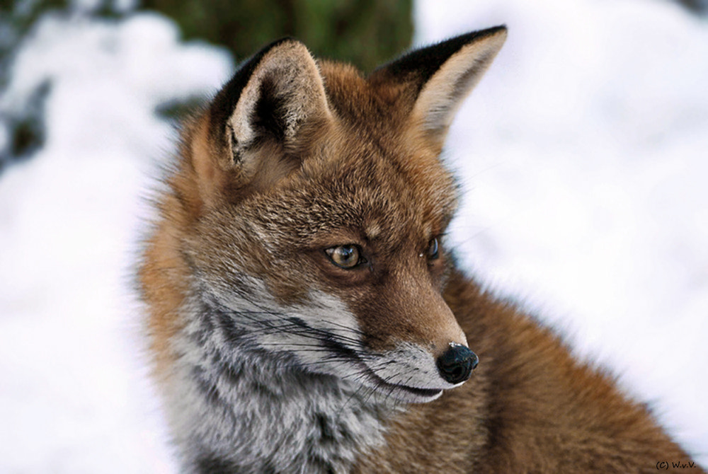 Photograph Red fox in winter by Wolfgang von Vietinghoff on 500px
