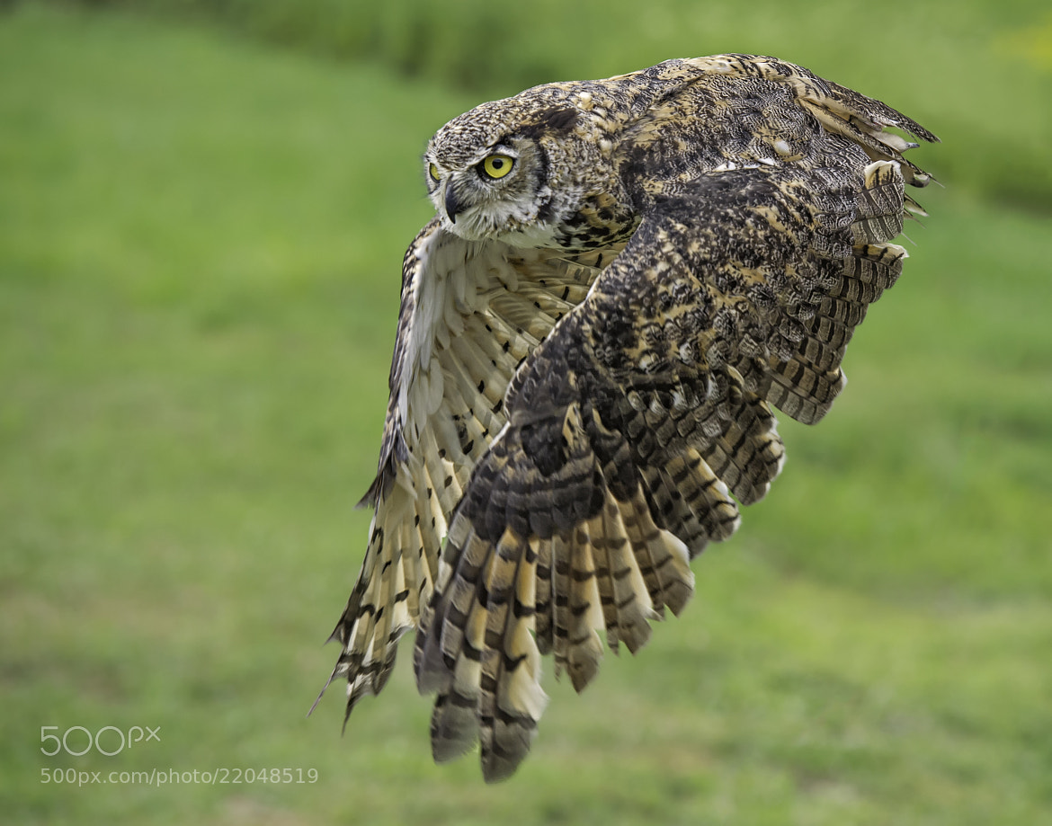 Photograph Great Horned Owl in Flight by Daniel Parent on 500px
